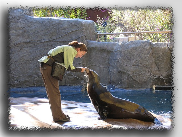 Operant conditioning with Minnie, a California sea lion, at the LA Zoo. © SA Krueger-Hadfield.