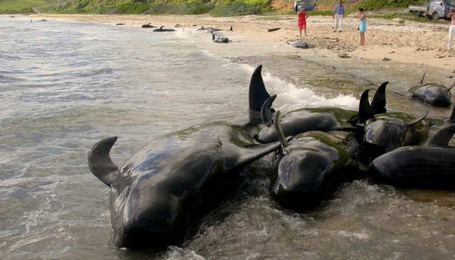 Fig. 4. B. Photograph of short-finned pilot whales (G. macrorhynchus) stranded on the French Atlantic coast. Photo credit: UMS Pelagis – Université de la Rochelle