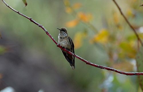 The Andean hillstar (Oreotrochilus estella) (Flickr: Tor Egil Høgsås)
