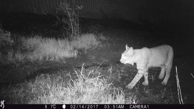 A camera-trapped bobcat near Anaheim, California, where Fountain-Jones et al (2017) examined Feline Immunodeficiency Virus transmission.