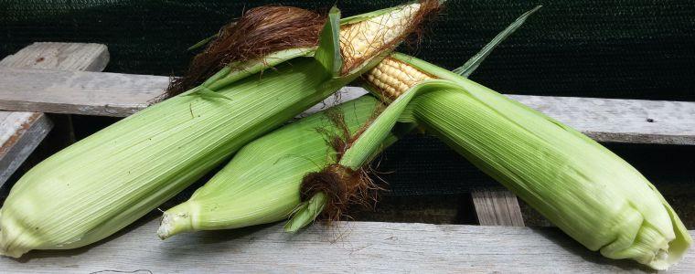 Macché OGM! Genuino e affidabile: il mais molisano, fedele compagno a tavola