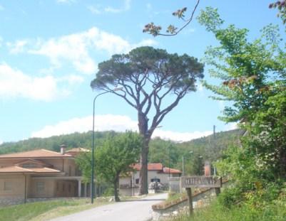 Il Pinus Pinea che domina su Indiprete (Fraz di Castelpetroso)