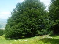 Un bel faggio in località Sant'Egidio