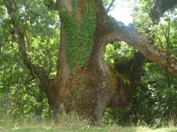 La Grande quercia di Santa Lucia