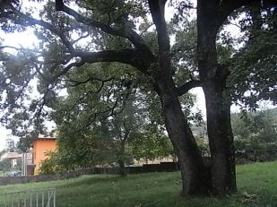 il rovere dei bambini di sgonico - la foto si riferisce ad un inquadratura dell'albero sulla destra nel prato del giardino, mentre sulla sinistra si intravede il campanile di sgonico nello sfondo