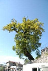 Quercione - Quercia secolare nel paese di Magliano