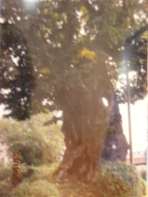 questo tiglio si vede nella sua grandezza naturale in inverno si trova a Feistriz sul lago di Worther vicino a Velden