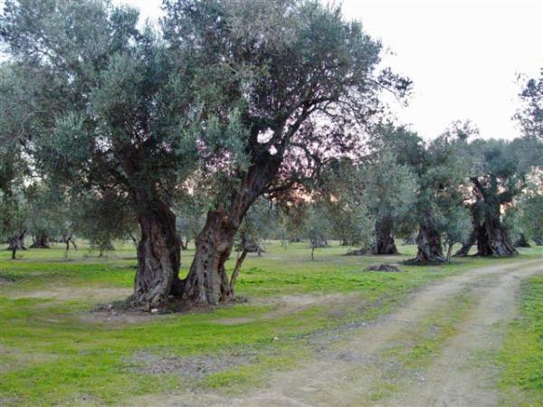oliveto struda di vernole 2