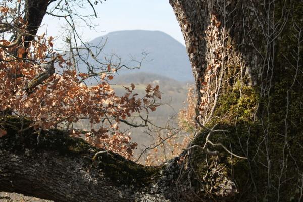 Chiauci la grande quercia di Contrada Marangone sullo sfondo Monte Totila