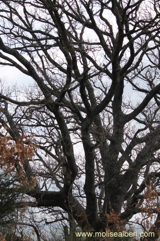 Pietrabbondante la quercia di Contrada Mozzoni