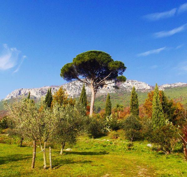 PinusPineadi Pratella
