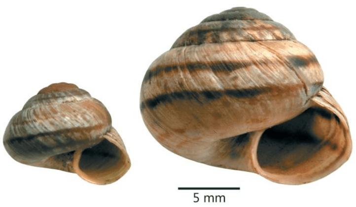 Mountainsnails, Oreohelix spp.