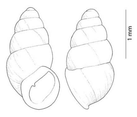 Carychium occidentale