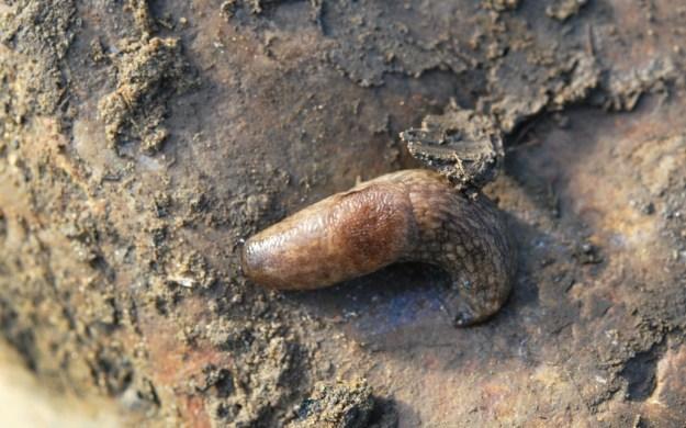 Deroceras reticulatum, Hay River