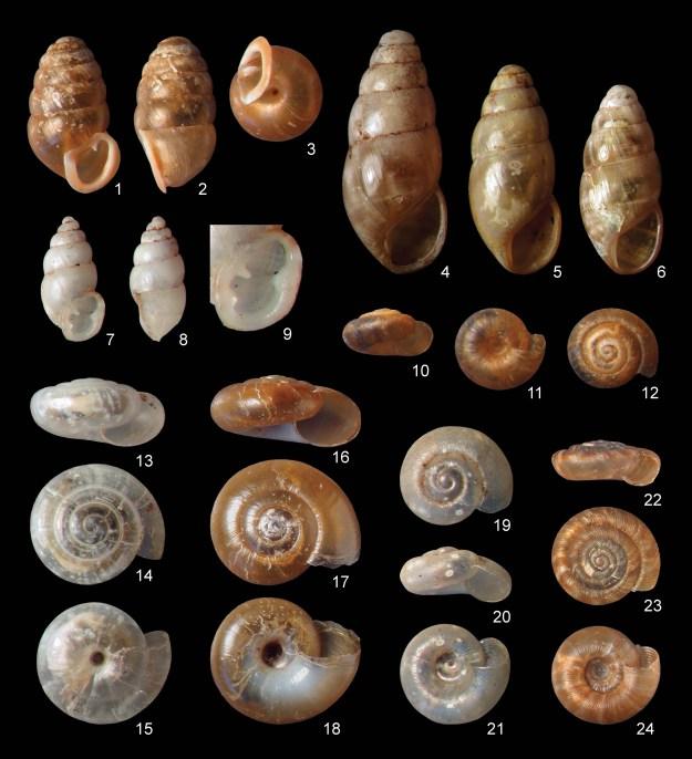 Snails from Queen Elizabeth Park, Vancouver, BC. 1-3, Lauria cylindrica; 4-6, Cochlicopa lubrica; 7-9, Carychium minimum; 10-12, Punctum randolphii; 13-15, Vitrea contracta; 16-18, Aegopinella nitidula; 19-21, Striatura pugetensis; 22-24, Discus rotundatus.