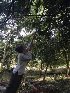 Harvesting cacao fruits
