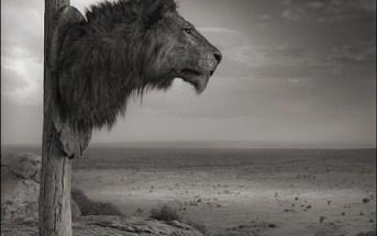 """Nick Brandt, """"Lion Trophy, Chyulu Hills, Kenya,"""" 2012"""