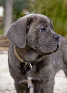 Cane-Corso-puppy