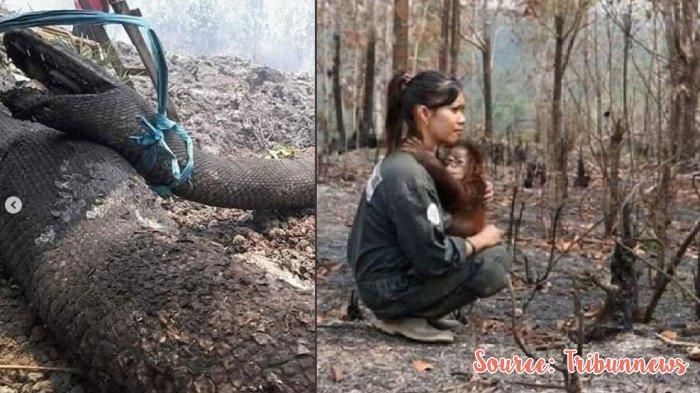 foto anaconda dan orangutan tewas