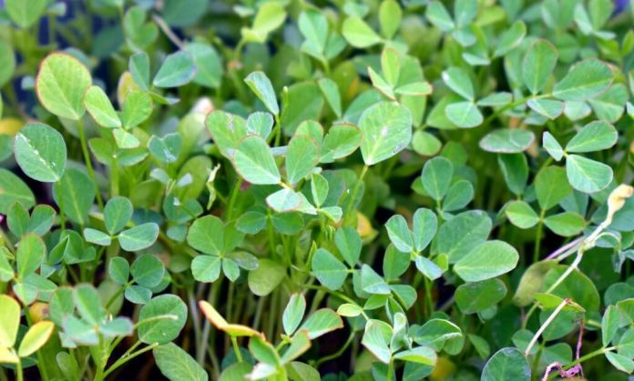 fenugreek herbal supplements