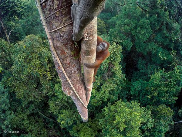 Wildlife Photographer of the Year - Tim Laman ®