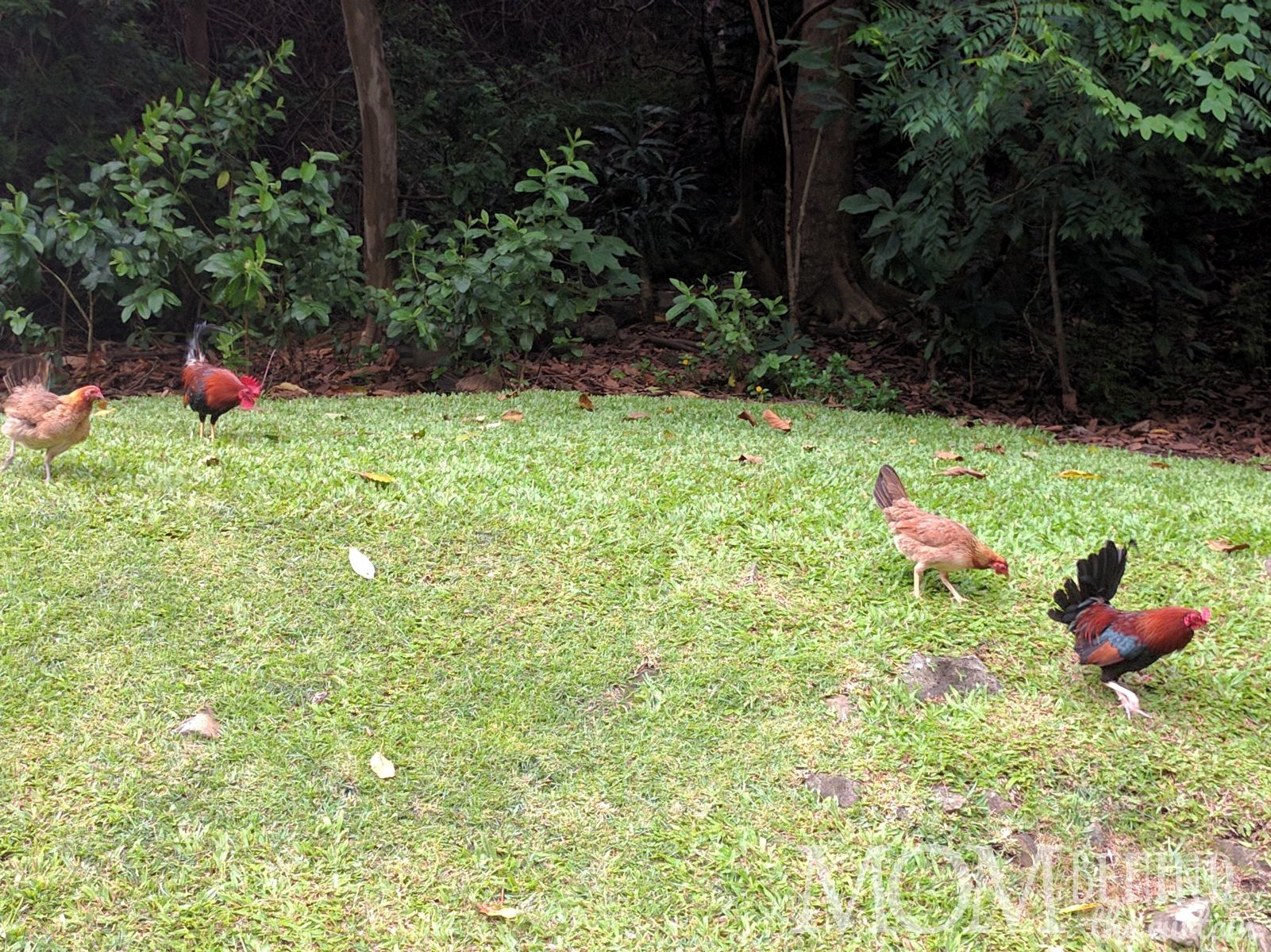 Hawaii chickens and roosters on the edge of the tropical forest on Maui.