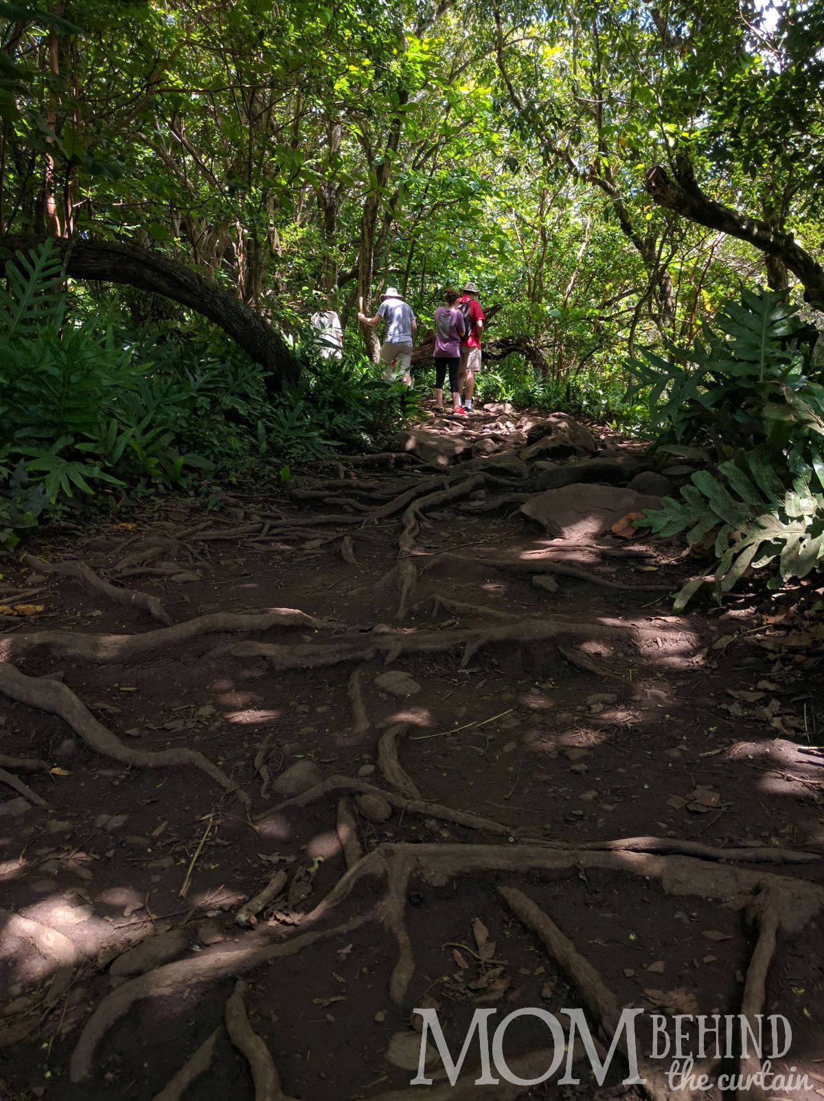 Roots and muddy incline on the easy part of the Pipiwai trail , off the Road to Hana on Maui on the way to the Bamboo Forest and waterfalls.