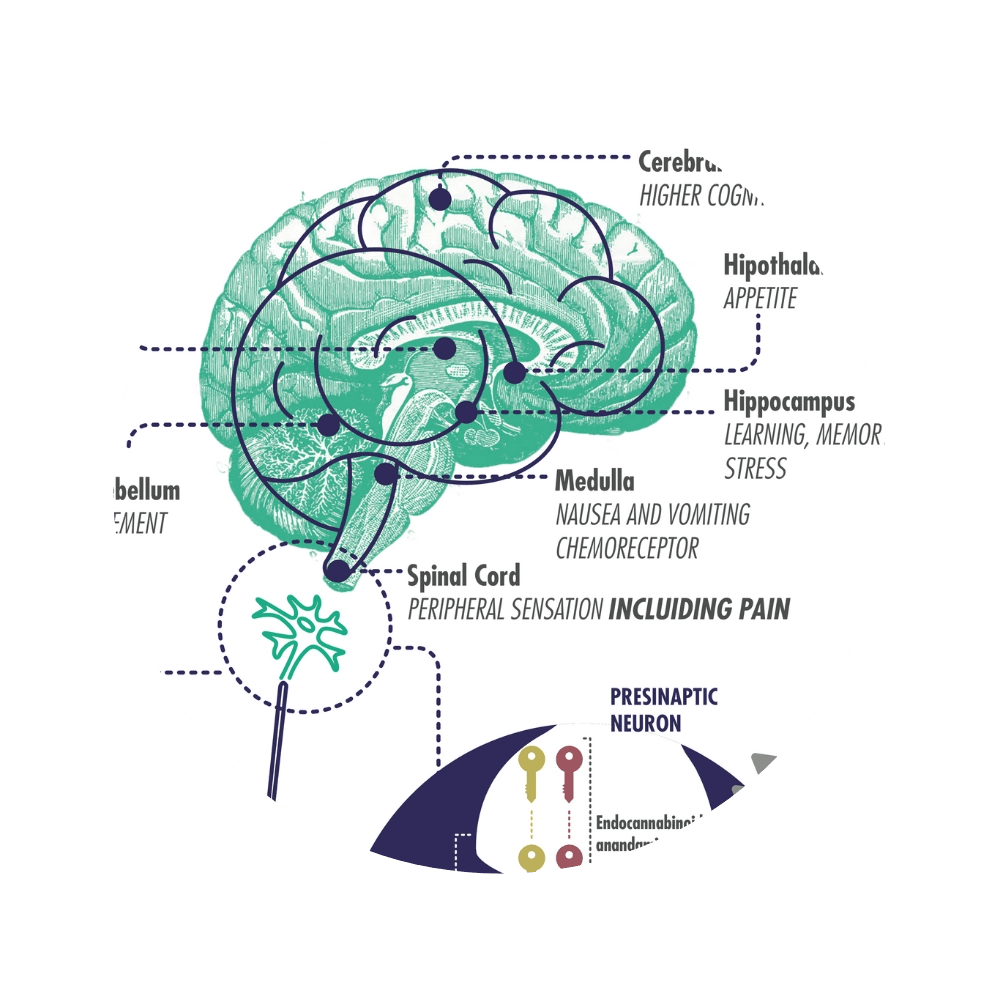 Endocannabinoid system plays an important part in regulating various bodily functions. For instance, it controls your appetite, memory, mood, and defense system.