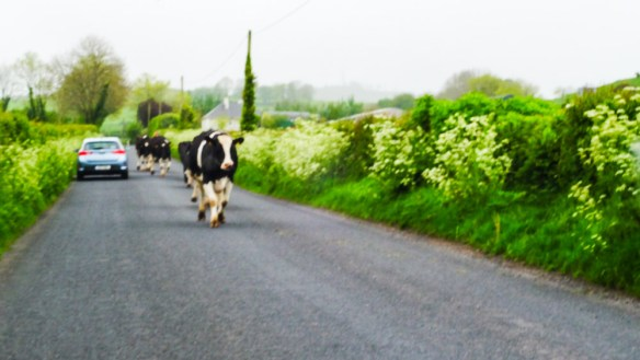 Cows headed to a new field, on a road, in the middle of the day. Welcome to Ireland.