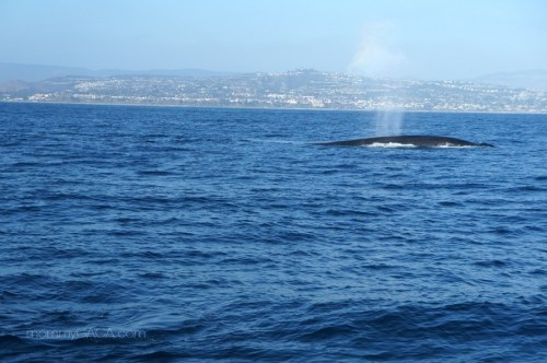 Blue Whale Dana Point Harbor, California