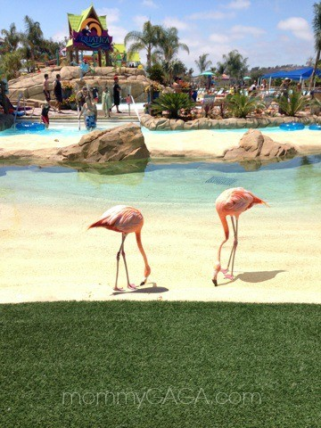 flamingos at Sea Worlds Aquatica water park, San Diego