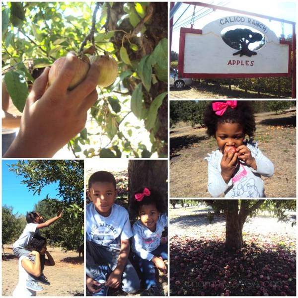 Apple picking at Calico Ranch Orchard, Julian, CA