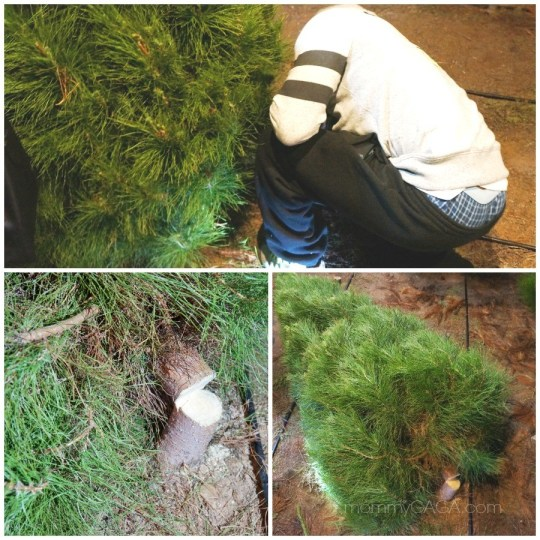 Dad cut down the Christmas tree