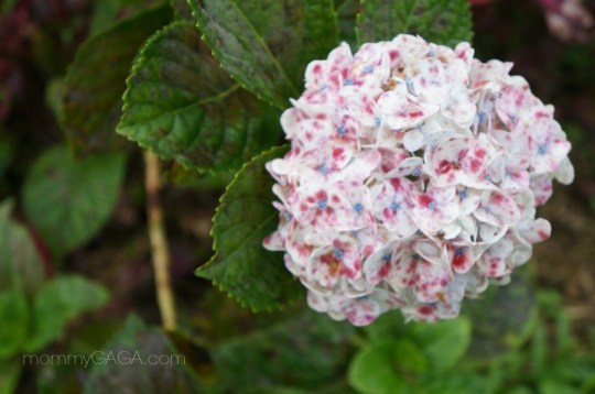 wild hydrangea flower in Costa Rica