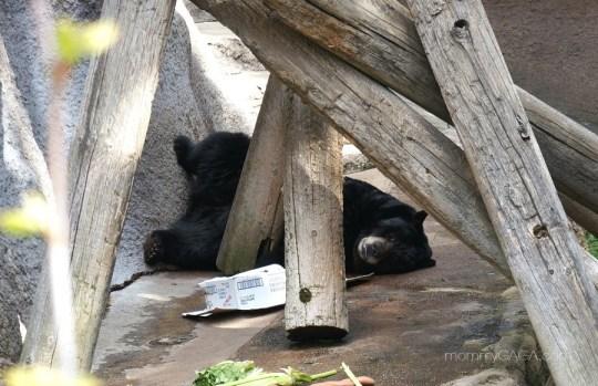 American Black Bear, Los Angeles Zoo