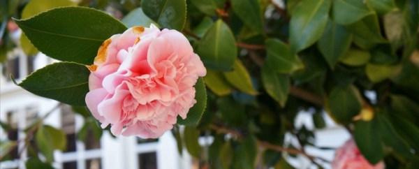 Skywalker Ranch, beautiful flower in bloom, main house backyard