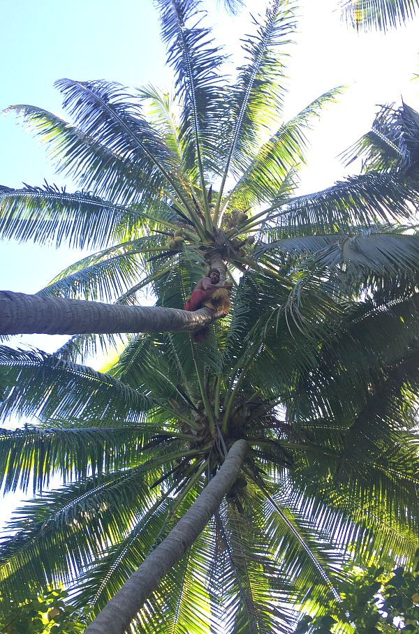 Koka Lagoon Cruises man climbs coconut tree