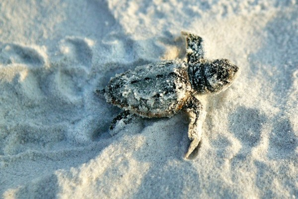 Baby turtle, Gulf County, Florida