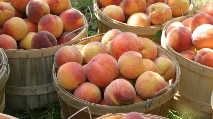 Best Farms To Pick Your Own Peaches In The Garden State