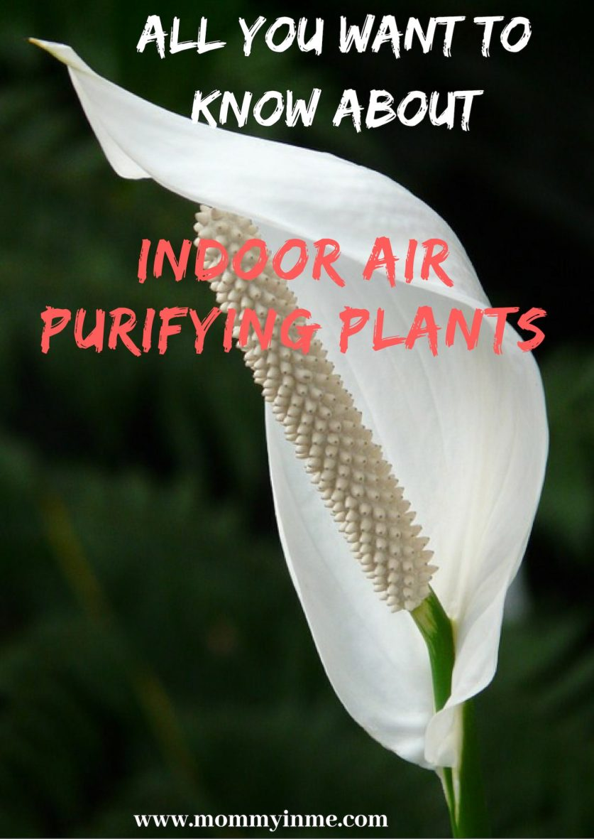 Delhi's Air Pollution has given a new reach for plants. Since Indoor Air Pollution can be 5X more than outdoors, here are some Air Purifying Plants for home. #airpurifyingplants #indoorplants #airpollution #plants #Delhi #DelhiAir