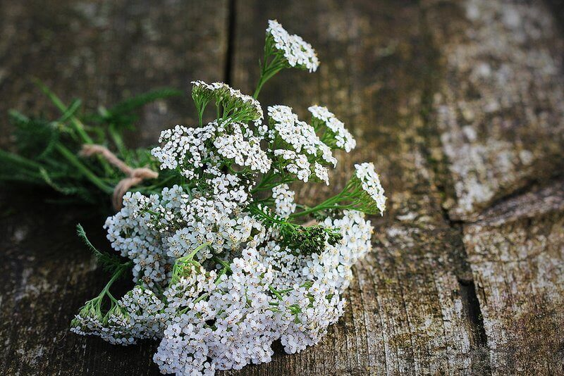 8 Yarrow Uses And Benefits And How To Prepare It In Your