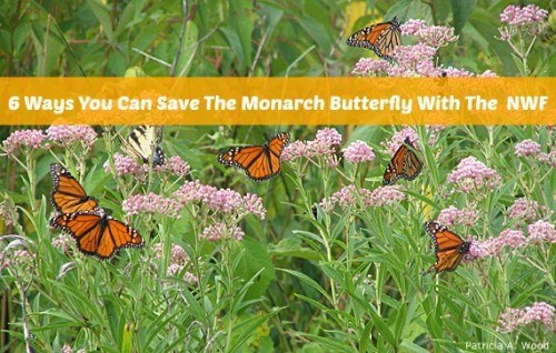 NWF-Save-Monarchs graphic