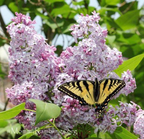 Swallowtail Lilac Mommy Ramblings