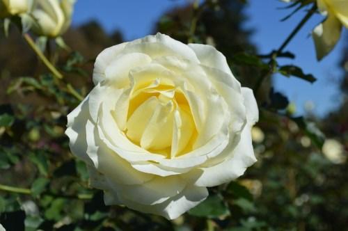white-rose-196656_960_720