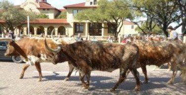 Stockyard cattle drive