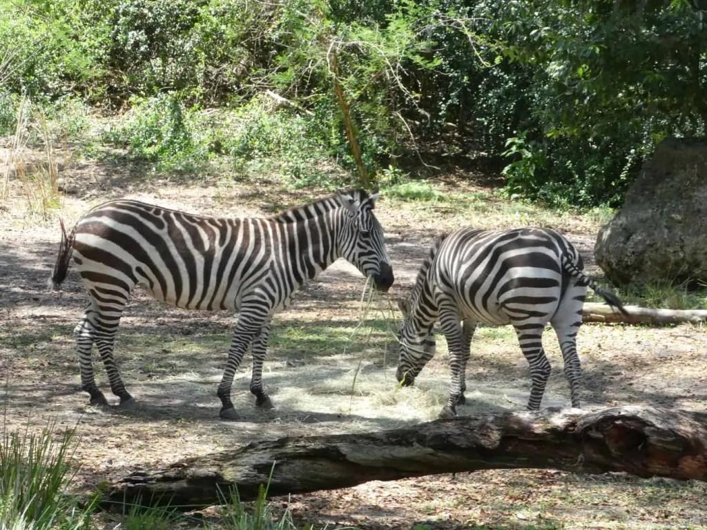 Kilimanjaro Safari at the Animal Kingdom