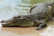 crocodile_africa