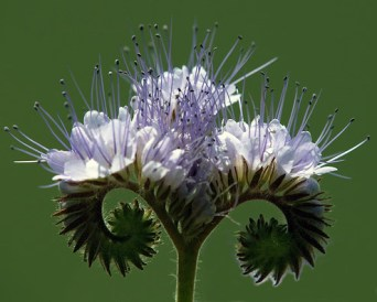 Fleure de phacélie
