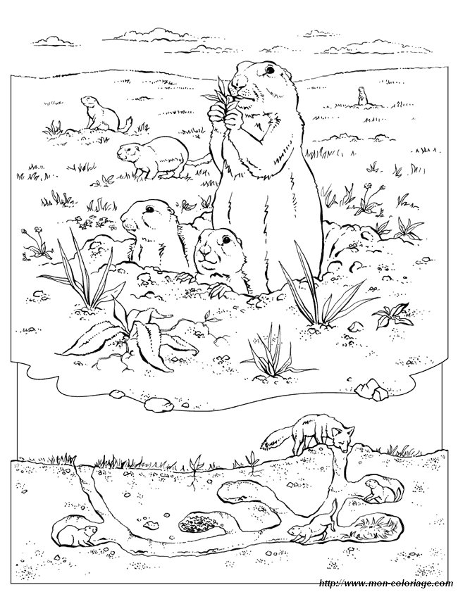 Prairie Dog Burrow Coloring Page Prairie Dogs Drawing Black Tailed