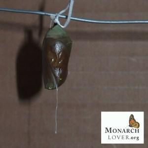 Close-up parasitized monarch chrysalis